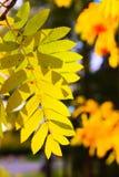 гора ветви золы Стоковые Фото