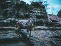 Гора козы облицовывает небо зимы леса осени Стоковая Фотография RF