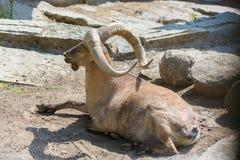 Гора козы Стоковые Изображения RF