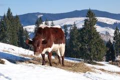 гора коровы Стоковое фото RF