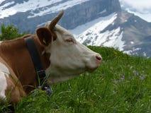 гора коровы Стоковое Фото