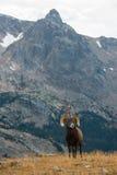 Гора Колорадо одичалого canadensis барана снежных баранов скалистая стоковая фотография