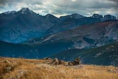 Гора Колорадо одичалого canadensis барана снежных баранов скалистая стоковое фото rf