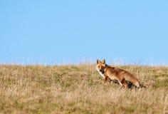 гора лисицы поля одичалая Стоковое Изображение