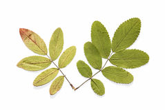 гора листьев золы сухая Стоковые Изображения RF