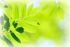 гора листьев золы Стоковые Фотографии RF