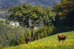 гора лужка коровы Стоковая Фотография