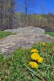 гора лужка одуванчиков Стоковые Фотографии RF