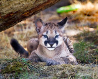 гора льва котенка кугуара пряча Стоковые Фотографии RF