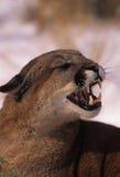 гора льва спутывая Стоковое Изображение