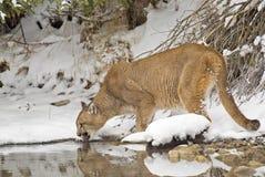 гора льва Стоковые Изображения