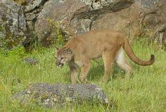 гора льва Стоковое Фото