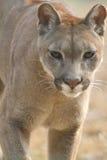 гора льва Стоковая Фотография RF