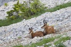 гора малыша козочки утесистая Стоковые Фото