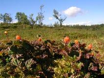 гора морошек Стоковая Фотография RF
