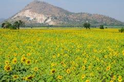 Гора на поле цветка Солнця в Таиланде Стоковые Изображения RF