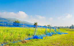 гора сетки фермы культивирования урожаев предпосылки животных разрушая защищает рис к Стоковое фото RF