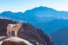 Гора Синай, держатель Моисей в Египте Стоковые Изображения RF