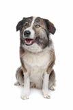 гора собаки атласа aidi Стоковые Фото