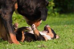гора собаки играет щенка Стоковые Фотографии RF