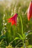 Гора Теннесси Северная Каролина цветеня цветка лилии серого цвета Roan Стоковое фото RF