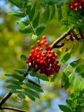 гора ягод осени золы Стоковая Фотография RF