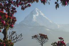Гора Dhaulagiri в рамке красных рододендронов Стоковая Фотография