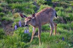 гора lupine оленей Стоковое Фото