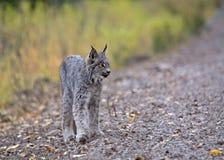 гора lynx утесистая Стоковое Изображение