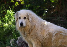 гора pyrenean собаки стоковая фотография