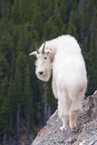гора rockies козочки alberta канадская утесистые стоковые фотографии rf