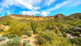 Гора Usery в парке горы Usery региональном с много Saguaro и кактусы Cholla под голубым небом стоковое фото rf