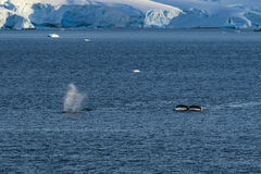 2 горбатого кита ныряя вниз Стоковое Изображение