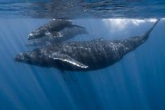 Горбатые киты в Мауи стоковая фотография