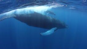 Горбатые киты плавая на поверхности в карибском море акции видеоматериалы