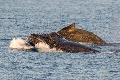 Горбатые киты плавая в Австралии Стоковое Изображение