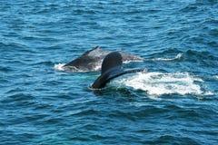 Горбатые киты стоковые изображения