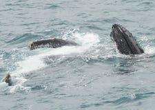 Горбатые киты Стоковое Изображение RF