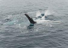 Горбатые киты Стоковые Изображения RF