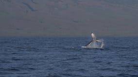 Горбатый кит выполняя ход кабеля акции видеоматериалы