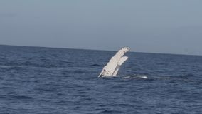 Горбатый кит выполняя шлепок ребра сток-видео
