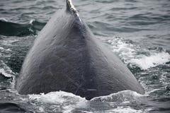 Горбатый кит в Аляске Стоковое Фото