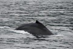 Горбатый кит в Аляске Стоковые Изображения