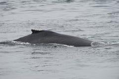 Горбатый кит в Аляске Стоковое фото RF