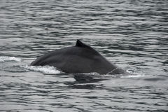 Горбатый кит в Аляске Стоковое Изображение RF