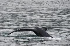 Горбатый кит в Аляске Стоковое Изображение