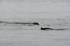 Горбатый кит в Аляске Стоковые Фотографии RF