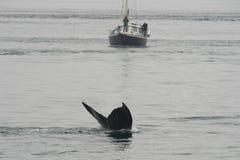 Горбатый кит в Аляске Стоковые Фото