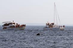 Горбатый кит кабеля Стоковые Фото