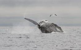 Горбатый кит который скачет из воды и поднимает Стоковое Изображение RF